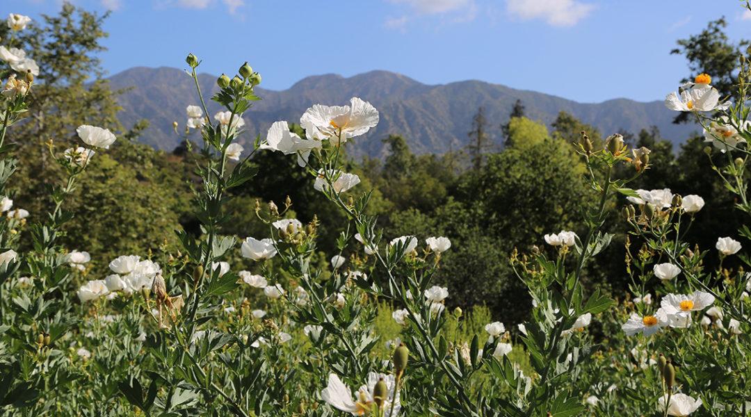 California Garden © Descanso Gardens - Public Relations