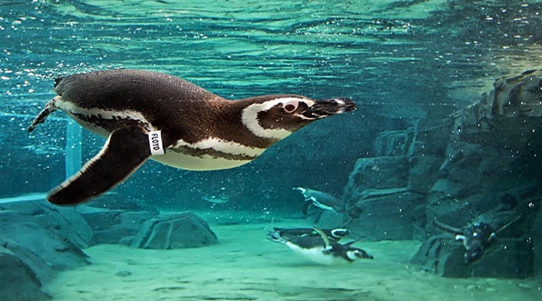 PenguinsCreditRequiredRobinRiggs - Nam Ly